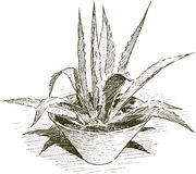 Agave in flowerpot Royalty Free Stock Photo