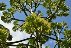 Agave flowers. Large stem of agave in bloom, view from below Royalty Free Stock Image