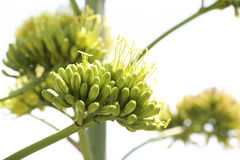Agave flowers Stock Images