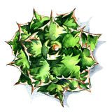 Agave, green plant, top view isolated, watercolor illustration on white Royalty Free Stock Image