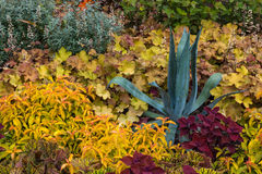 Agave growing among colorful plants Royalty Free Stock Images