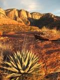 Agave, Hartwell-Schlucht, AZ Lizenzfreies Stockfoto