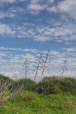 Agave i grön äng och blå himmel Arkivfoto