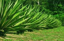 agave stockfotos