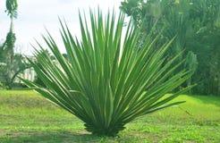 agave stockfoto