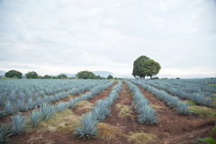 Agave landscape Stock Photography