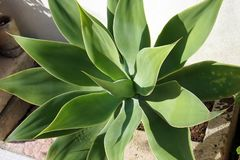 Agave with large leaves royalty free stock image