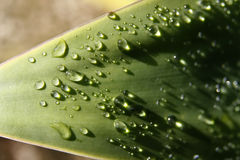 Agave leaf. Detail of an agave leaf with many drops of water on top Stock Photos