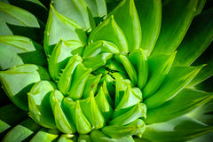 Agave leaf pattern. closeup. macro Royalty Free Stock Image