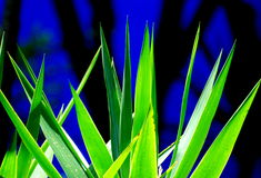 Agave leaves Stock Image