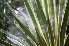 Agave leaves covered with spiders webs stock image