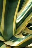 Agave Mediopicta americana alba Photographie stock