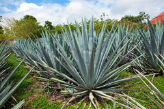 Agave. Mexico. Close up in a sunny day Stock Images