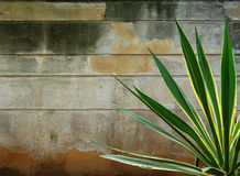 Agave mit einer Wand im Hintergrund Stockbild