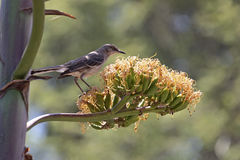 Agave Mocking Bird. A Northern Mocking bird foraging for breakfast among Agave Century Plant blossoms Royalty Free Stock Photography