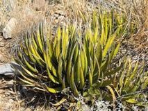 Agave, Nationalpark der großen Biegung, TX Stockfotos