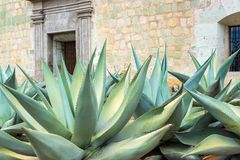 Agave in Oaxaca, Mexico. Agave plants growing in front of a church in Oaxaca, Mexico royalty free stock images