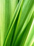 Agave ocahui Blätter Stockfotografie