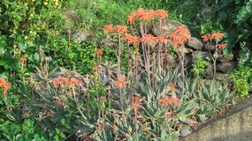 Agave with orange flowers