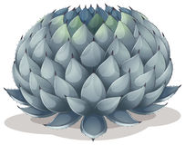 Agave parryi. Illustration of an Agave parryi on a white background Stock Photos