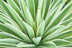Agave Plant. Leaves of a variegated succulent agave or yucca plant Stock Image