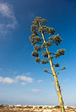 Agave plant. Stock Photo
