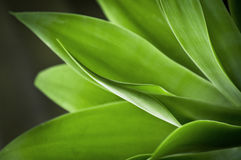 Agave Plant. Vivid green Agave plant on a black background Stock Photos