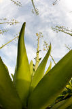 Agave plant Stock Photo