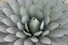 Agave plant. Over shooting of agave parryi Stock Image