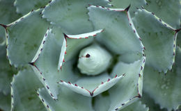 Agave plant Royalty Free Stock Images