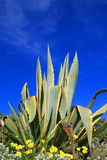 Agave Plant. Close up over blue sky Stock Images
