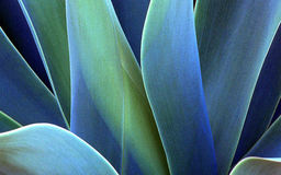 Agave plant Royalty Free Stock Image