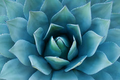 Agave plant. Closeup of an agave plant