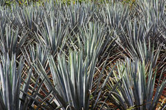 Agave plant Royalty Free Stock Photos