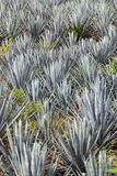 Agave plant. To produce Tequila Stock Photography