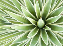 Agave Plant Royalty Free Stock Photography