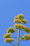 Agave plant blooming royalty free stock image