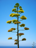 Agave plant  on blue sky background on Malta. Island Stock Photo