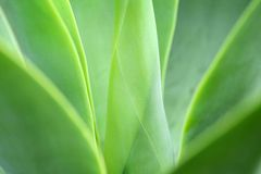 Agave plant Stock Image