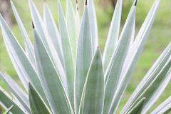Agave plant close up Royalty Free Stock Photography