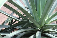 Agave plant close up of rosette. Blue green spikes of a large agave cactus plant. Adobe wall in background royalty free stock photo