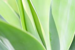 Agave plant close up royalty free stock photos
