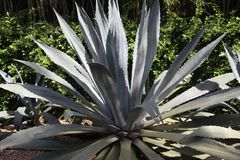 Agave plant. Close view of agave plant stock photo