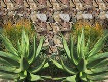 Agave Plant Stock Photos