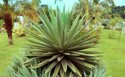 Agave Royalty Free Stock Photo