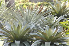 Agave Plant. Green Agave pineapple like herb plant with reddish tip Royalty Free Stock Image