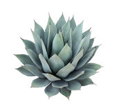 Agave Plant Isolated On White Background Royalty Free Stock Images