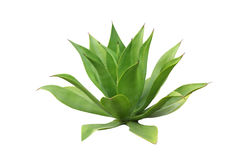 Agave Royalty Free Stock Photography