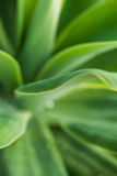 Agave plant leaf shapes and pleasant green colors. Stock Image