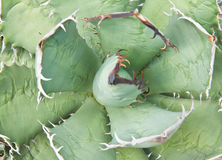 Agave plant leaves Stock Photography